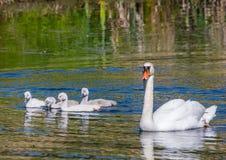 游泳与他们的池塘的父母一起的两星期老疣鼻天鹅婴孩 免版税库存照片