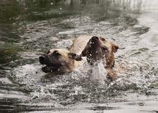 游泳两条的狗快乐 免版税库存照片