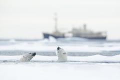 游泳两头北极熊 北极熊战斗在水中在与雪的流冰之间 被弄脏的巡航芯片在背景,斯瓦尔巴特群岛中, 库存图片