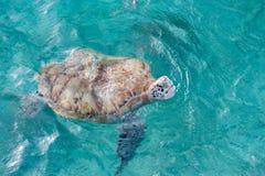 游泳乌龟在水中 迈阿密海滩在巴巴多斯 库存图片