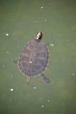 游泳乌龟 免版税图库摄影
