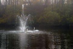 游泳二的天鹅 免版税库存照片