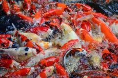 游泳五颜六色的鲤鱼 免版税库存照片