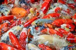 游泳五颜六色的鲤鱼 图库摄影