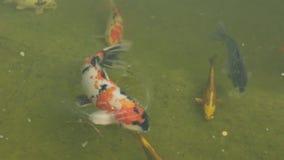 游泳五颜六色的鲤鱼 股票视频