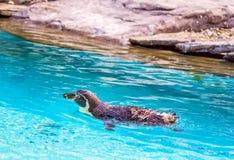 游泳企鹅 免版税库存照片