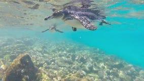 游泳加拉帕戈斯的企鹅在水面下 Galagapos,厄瓜多尔 股票视频