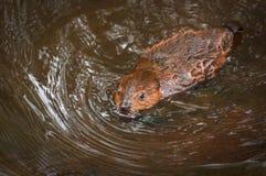 游泳北美洲海狸铸工canadensis成套工具 库存图片