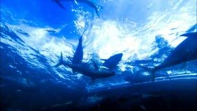 游泳和佩戴水肺的潜水/潜航与金枪鱼 股票视频