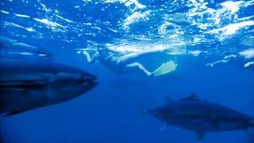 游泳和佩戴水肺的潜水/潜航与金枪鱼 股票录像