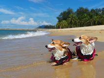 游泳和使用由海滩的两条爱犬 库存图片