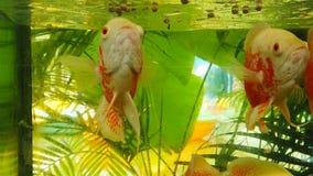 游泳和寻找食物的鱼 影视素材