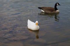 游泳和漂浮在水中的两只鸭子 库存照片