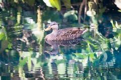 游泳在一个反射性池塘的鸭子 免版税库存图片