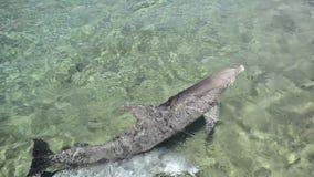 游泳在一个受控环境里的两只海豚 股票录像