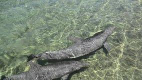 游泳在一个受控环境里的两只逗人喜爱的海豚 股票视频