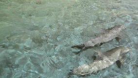 游泳在一个受控环境里的海豚 影视素材