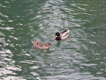 游泳在一个安详湖的两只鸭子 免版税图库摄影