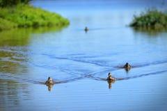 游泳在一个湖的鸭子群在特拉维斯沼泽地自然遗产在新西兰停放 图库摄影