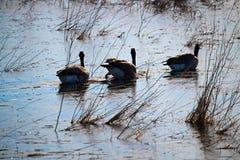 游泳在一个冻池塘的三只加拿大鹅 图库摄影