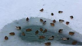 游泳在一个冻池塘的冰孔的鸭子群  股票录像