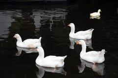 游泳在一条河的五只白色鸭子在镇静黑水中 免版税库存图片