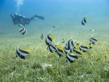 游泳在与清楚的蓝色海的海一个潜水者的草和剪影的bannerfish学校在背景中 免版税库存照片