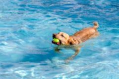 游泳在公共场所的狗 库存照片