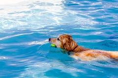 游泳在公共场所的狗 图库摄影