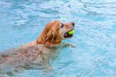 游泳在公共场所的狗 免版税图库摄影