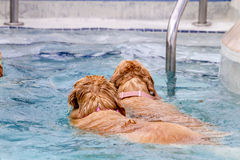 游泳在公共场所的狗 免版税库存图片