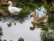 游泳在公园` s的鸭子筑成池塘 图库摄影
