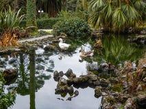 游泳在公园` s的鸭子筑成池塘 库存图片