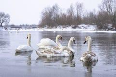 游泳在冬时的河水表面上的天鹅群  过冬鸟 图库摄影