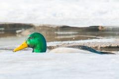 游泳在冰冷的小河的野鸭在上部中西部 库存照片