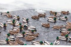 游泳在冻池塘冰孔的许多鸭子  免版税库存照片
