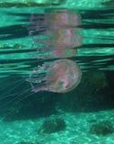 游泳在地中海的水母 免版税库存照片