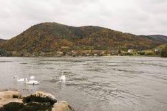 游泳在多瑙河的美丽的天鹅在秋天开户在Durnstein镇,奥地利附近 免版税库存照片