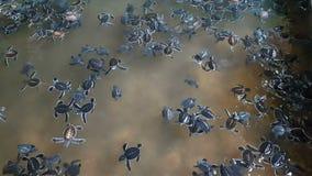 游泳在孵出水池的一个小组小小乌龟 影视素材
