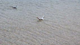 游泳在密执安湖Waukegan伊利诺伊的两只海鸥 影视素材