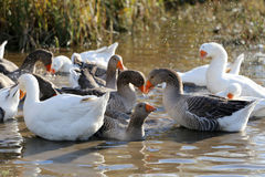 游泳在小池塘农村场面的雪雁 免版税图库摄影