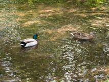 游泳在小河的两只野鸭 免版税库存图片