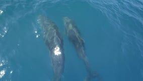 游泳在小船或船前面的几只海豚 跃迁和看看照相机 动物和环保 股票视频