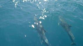 游泳在小船或船前面的几只海豚 跃迁和看看照相机 动物和环保 股票录像