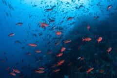 游泳在岩石礁石附近的五颜六色的鱼 库存照片