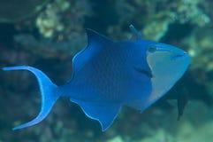 游泳在巴厘岛珊瑚礁的一条红齿状的引金鱼的特写镜头  库存图片