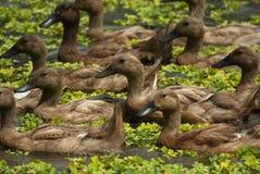游泳在巴厘语米领域的鸭子 库存照片