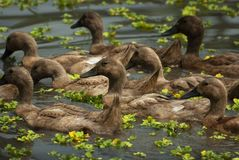 游泳在巴厘语米领域的鸭子 免版税库存图片