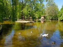 游泳在平安的池塘或湖的一只白色天鹅有鸭子的在它附近 图库摄影