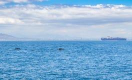 游泳在开普敦附近的两条鲸鱼 免版税库存图片